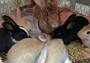 Analisis Kelayakan Usaha Peternakan Kelinci