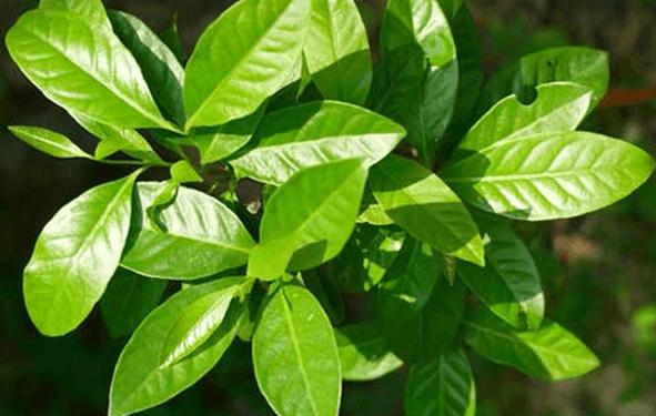 Cara Mengobati Penyakit Diabetes Secara Alami dengan daun salam